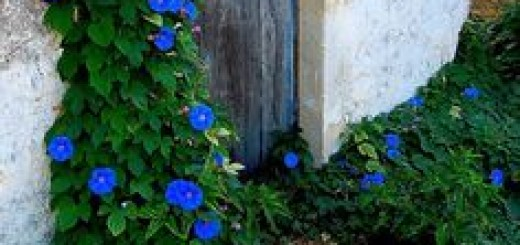 469c2c18bfcd2474e7cd6e62a32efc7e--morning-glories-blue-flowers